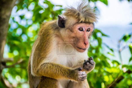funny monkey with topknot in