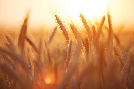 Photo pour Blé balançant au coucher du soleil - image libre de droit