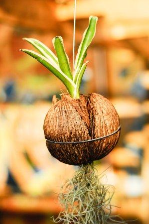 Photo pour Une fleur plantée en accrochant les pots faits de noix de coco. C'est l'un des métiers qui peuvent provenir de coques de noix de coco. - image libre de droit