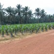 Постер, плакат: Nursery for young palm oil trees in Malaysia