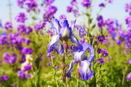 Photo for Graceful blue iris flowers on a background of wildflowers - Royalty Free Image