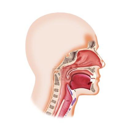 Human face cavity