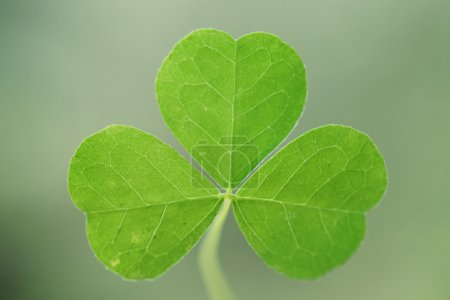 Photo for Closeup view of three leaf clover - Royalty Free Image