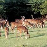 Herd of fallow deer on a meadow...