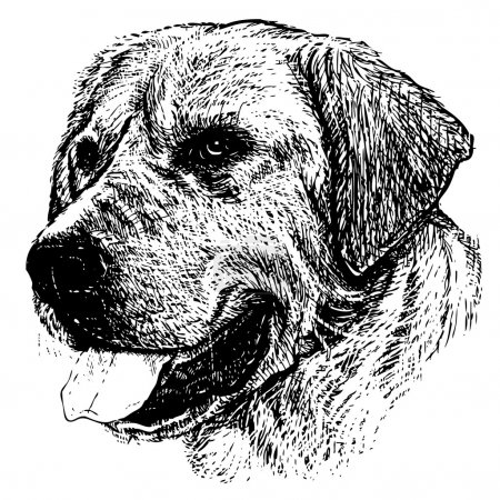 Illustration for Image of Labrador Retriever hand drawn vector - Royalty Free Image