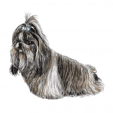 Shih Tzu hand drawn