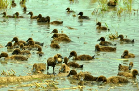 herd of ducks in basin on the rice field