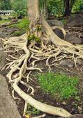 big roots of old tree