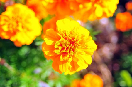 Marigold bright flowers with green leaves in the garden. Flowers close up, growing, top view. Bright marigold flowers from above. Flora design, flower background, garden flowers. Flowers no people.
