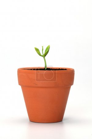 Baby plant in pot isolated on the white