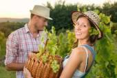 Pár v při sklizni hroznů na vinici s košíkem