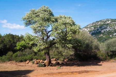 In flower tree in Sardinia