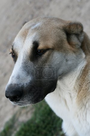Alabai central Asian shepherd dog.