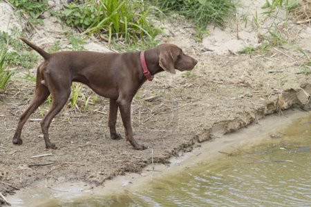 A careful look into the distance. German Shorthaired Pointer.