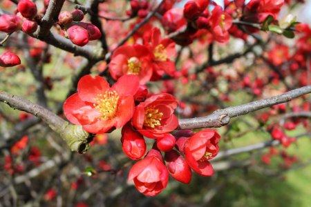 Foto de Flor de membrillo de flor - Imagen libre de derechos