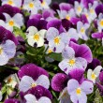 Violet pansies close up...