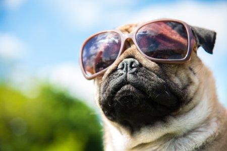 Photo pour Museau chien dans les lunettes de soleil - image libre de droit