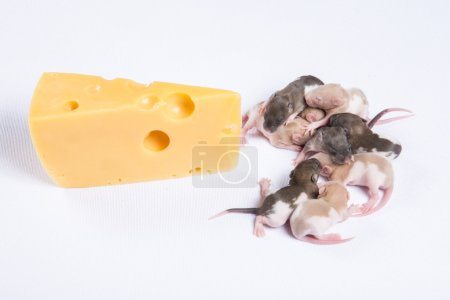 Little rat sleep next to a large piece of cheese