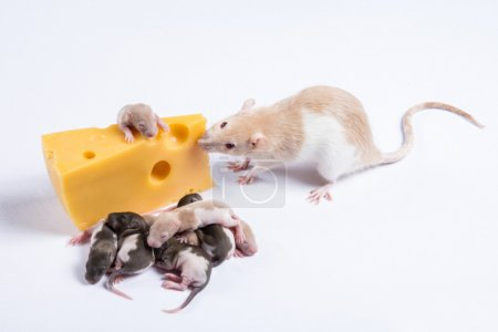 Most rat rats with children eat a big piece of cheese
