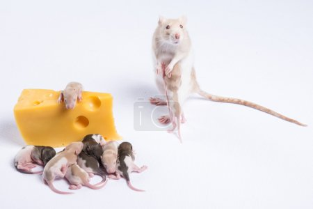 White rat standing on two legs beside cheese