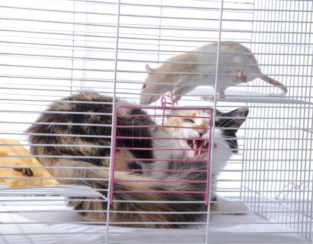 The cat hisses the white rat