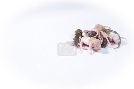 Little rat sleep bunch