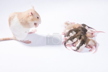 The family of rats