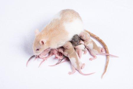 Mother rats were fed breast milk of rats children