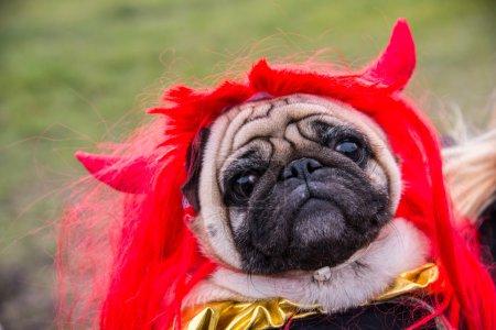 Photo pour Chien de vadrouilles. Un chien vêtu d'un costume de diable avec des cornes - image libre de droit