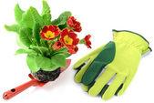 Květina červená primula na zahradní lopata s rukavicemi