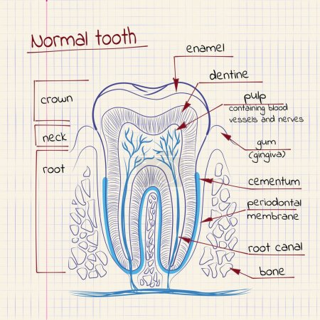 Illustration for Vector illustration of tooth structure in the school notebook - Royalty Free Image