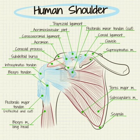 anatomy of the human shoulder detail
