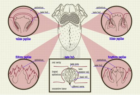 Illustration for Vector color scheme types of buds human tongue - Royalty Free Image