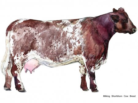 Cow. Cow watercolor illustration. Milking Cow Breed. Shorhthorn Cow Breed