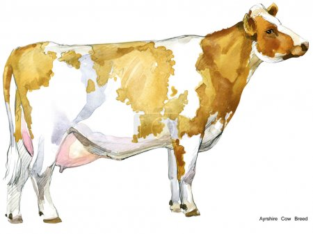 Cow. Cow watercolor illustration. Milking Cow Breed. Ayrshire Cow Breed.