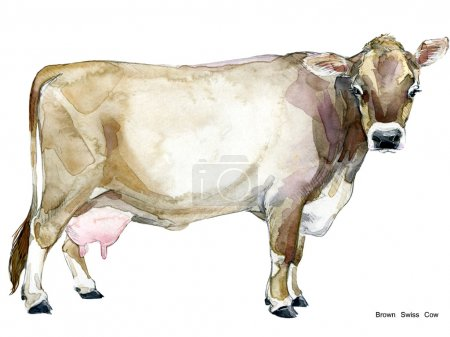 Cow. Cow watercolor illustration. Milking Cow Breed. Brown Swiss Cow