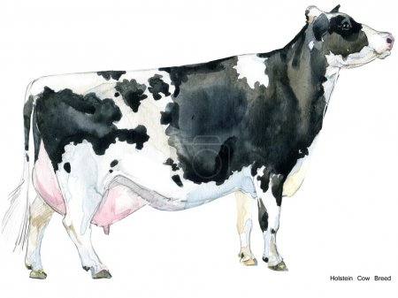 Cow. Cow watercolor illustration. Milking Cow Breed. Holstein Cow Breed