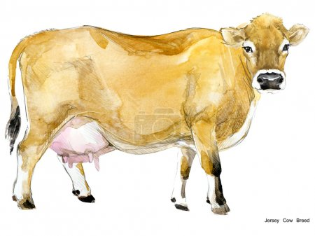 Cow. Cow watercolor illustration. Milking Cow Breed. Jersey Cow breed