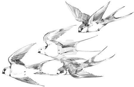 Swallow. Swallow pencil sketch. Spring Bird. Bird Swift. Swift flight