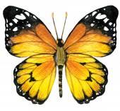 Farfalla sfondo