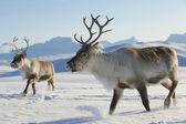 Sobů v přirozeném prostředí, Tromso region, severní Norsko