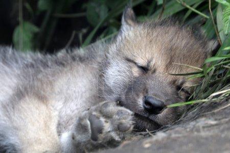 Photo pour Jeune loup dormant par terre - image libre de droit