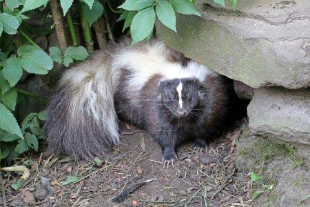 Skunk  in wildlife reservation