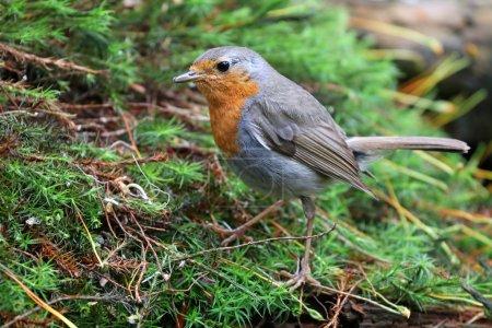 Robin bird on grass