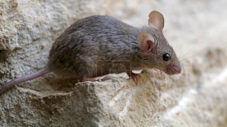 Small mouse on stone
