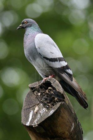 Photo pour Pigeon assis sur du bois, gros plan - image libre de droit