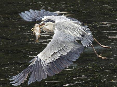 Photo pour Héron bleu volant avec des poissons dans son bec - image libre de droit