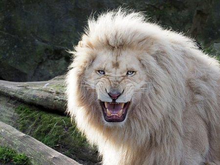 Photo pour Portrait d'un lion blanc - image libre de droit