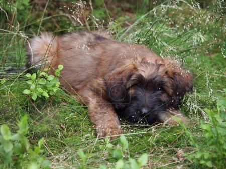 Briard puppy lying on grass