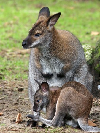 Bennett's wallaby mother and child